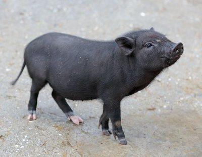 Pros y contras de tener un cerdo vietnamita como mascota