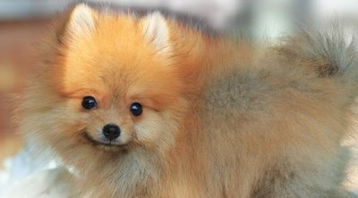 Cómo cuidar el pelo a un perro pomerania