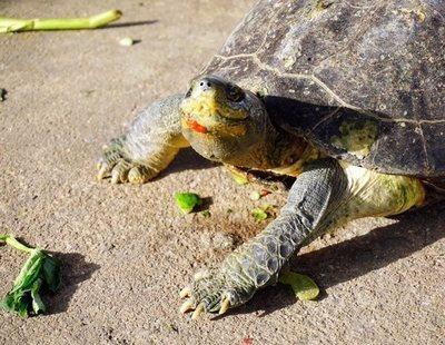 Cómo cuidar el caparazón de una tortuga de tierra