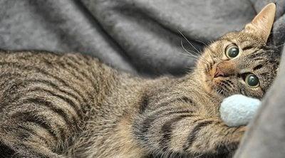 Gato común europeo: conoce todo sobre esta raza