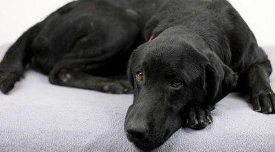 Displasia de cadera en perros: lo que debes saber