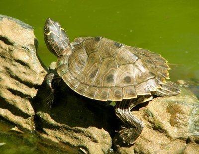 Cómo cuidar el caparazón de una tortuga de agua