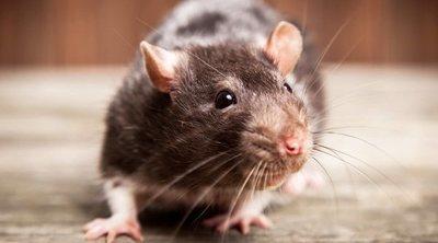 Rata Dumbo: todo lo que debes saber sobre este curioso roedor
