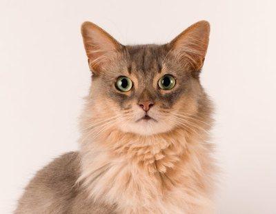 Razas de gato: Somalí