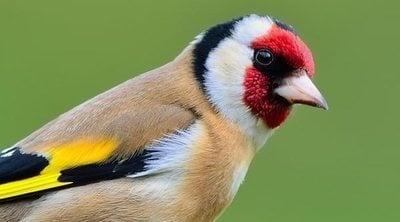 El jilguero: un ave muy cariñosa en el hogar