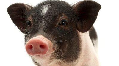 Tener un mini pig o cerdo en miniatura como mascota