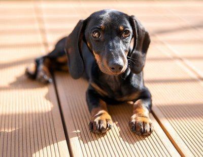 Cómo educar a un perro de raza teckel: consejos básicos