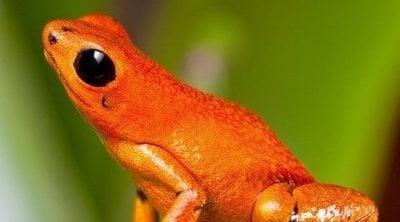 Especies de rana que se pueden tener como mascota