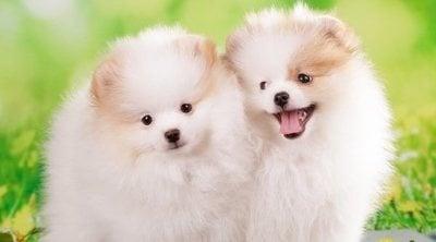 Cuidados básicos de un cachorro de pomerania