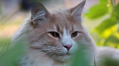 Razas de gato: Bosque de Noruega
