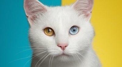 Razas de gato: Angora