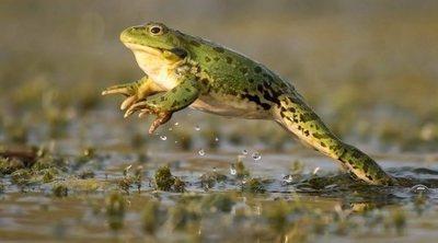 Ventajas e inconvenientes de tener una rana como mascota