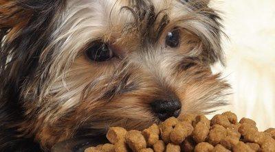 Mi perro no quiere comer pienso: ¿Qué hago?