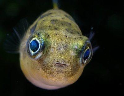 Conoce todo sobre el pez globo enano o puffer moteado