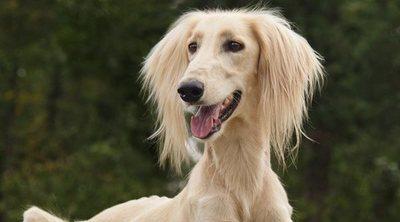 Clasificación de razas de perros por continentes: África