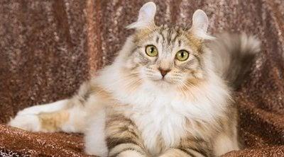 American curl: conoce todo sobre esta raza de felino