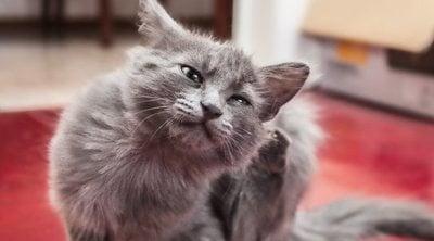 Cómo acabar con las pulgas en gatos