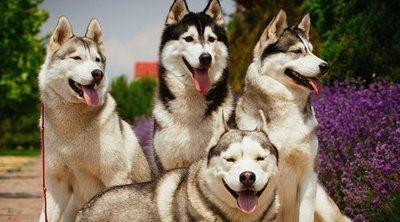 Tipos de Husky