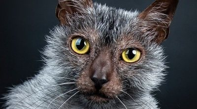 Lykoi o gato lobo: conoce todo sobre esta raza de felino