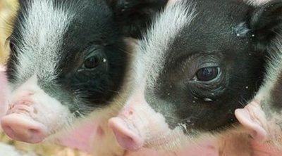 Cómo diferenciar un cerdo vietnamita de un mini pig