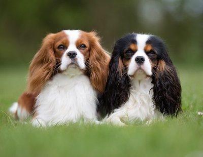 Tipos de Spaniel: conoce los distintos tipos de esta raza de perro
