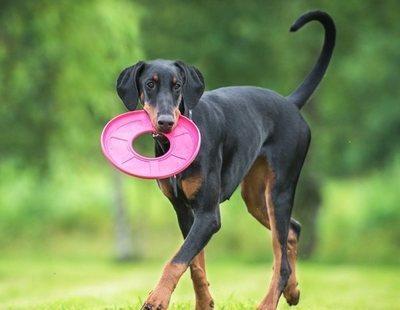 Mitos sobre la raza de perro Doberman