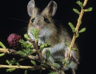 La rata canguro: conoce todo sobre este peculiar animal