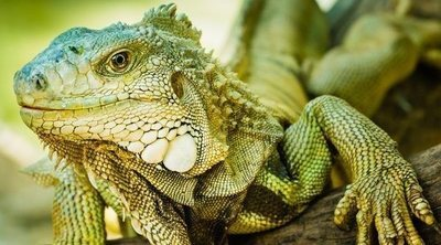 11 curiosidades de las iguanas