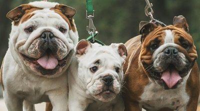 Razas de perros arrugados