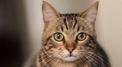 Razas de gatos que tienen menos enfermedades