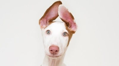 Razas de perro: Podenco