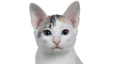 Razas de gato: Bobtail japonés
