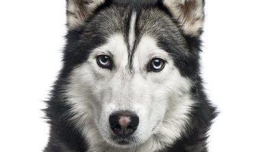 Diferencias entre el Husky Siberiano y el Alaskan Malamute