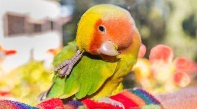 Tipos de Agapornis: un ave adorable