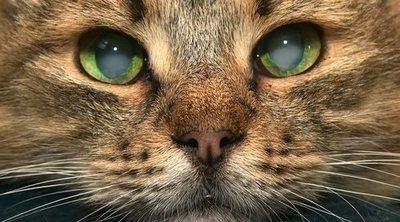 Cataratas en los gatos: formas de detectarlas y solucionarlas