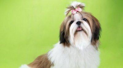 Curiosidades de la raza de perro Shih Tzu