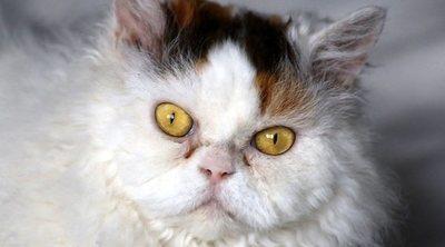 Razas de gato: Selkirk Rex