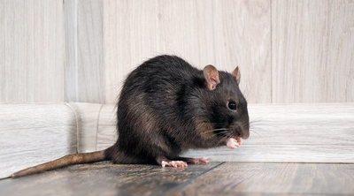 Cómo saber si una rata está embarazada