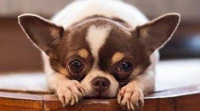 Las 16 razas de perros menos inteligentes