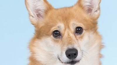 Razas de perro: Corgi