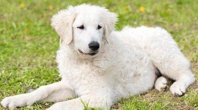 Descubre todo sobre el Kuvasz, una antigua raza de perro