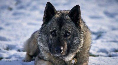 Razas de perro: Elkhound o cazador de alces noruego