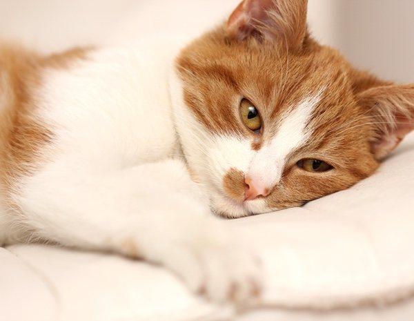 Lombrices intestinales gatos sintomas