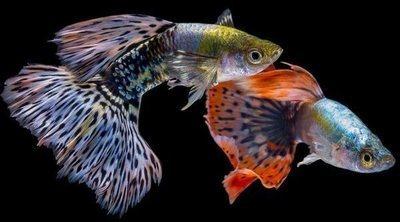 Peces tropicales: cuidados y consejos para tenerlos en el acuario