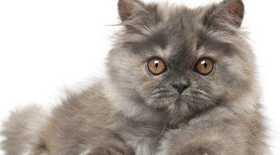 Diferencias entre un gato Persa y un gato de Angora