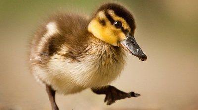 Qué comen los patos domésticos