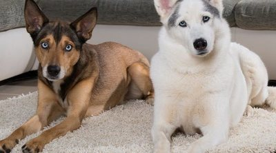Infección de orina en perros: Síntomas y tratamiento