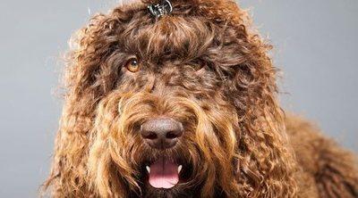 Razas de perro: Barbet