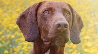 Tipos de razas de perro Braco
