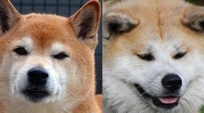 Diferencias entre Shiba Inu y Akita Inu
